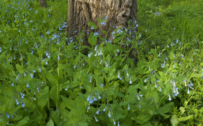 Bluebell Oaks